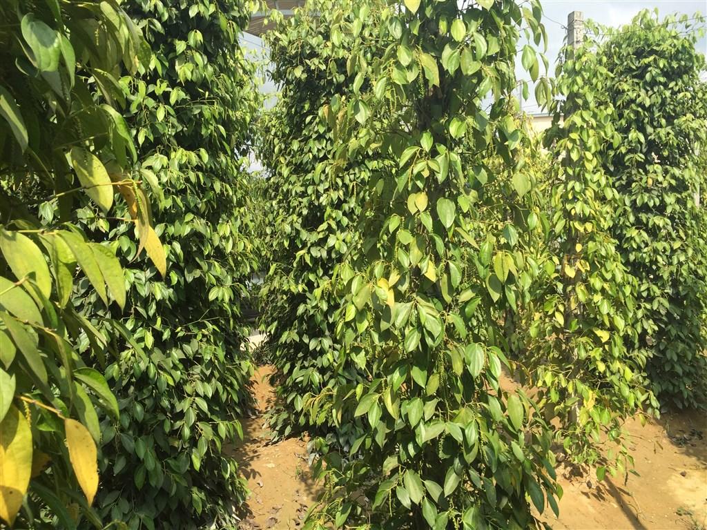 Ostrov Phu Quoc, pepřová farma