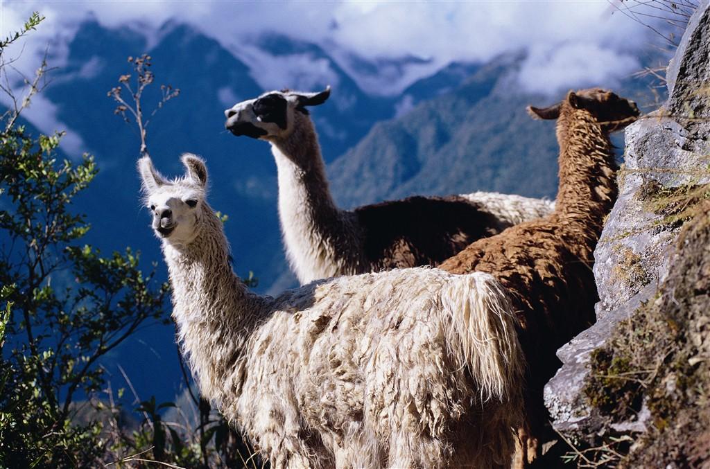 Peru - lamy